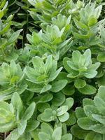 gröna sedumväxter foto