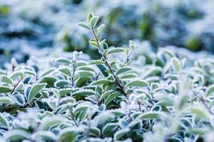 frost täckt växt foto