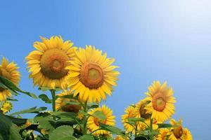 solrosor på växten foto
