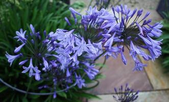 vackra blå blommande växter foto