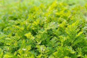 egenskaper hos växtblad foto