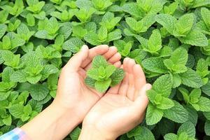 händer skyddar mynta växter foto
