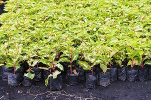 brokig växt i plantskola foto