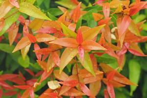 syzygium australe växt foto
