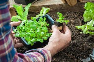 bonde som planterar unga plantor foto