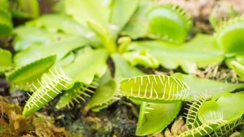 venus flytfälla (köttätande växt) foto