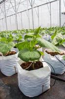gurkaväxt odlad i växthus. foto