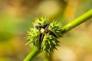 gift växt seedpods datura stramonium foto