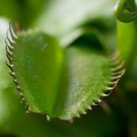 venus flytrap växt dionaea muscipula foto