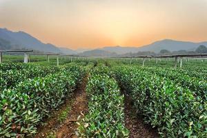 teplantarträdgård på landsbygden