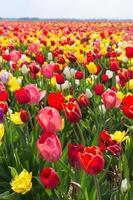 fält av mångfärgad tulpan foto