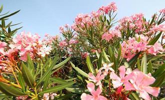 oleander växt med vackra färgade blommor foto