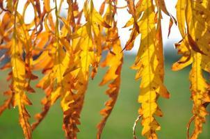 detalj av bakgrundsbelysta gula höstlöv