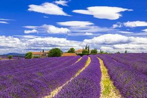 lavanderfält i Provence, Frankrike.