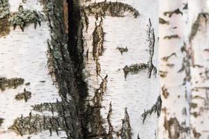stammar av björkträd, deras bakgrund och struktur foto
