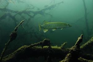 gädda i den djupa sjön