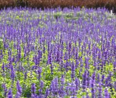 blå salvia växt