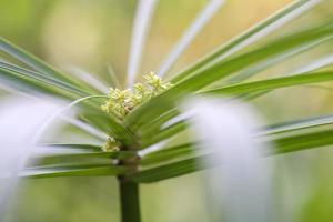 grönt blad-papyrusgrön växt foto
