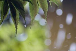 växter - lönnlöv