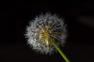 helt rund maskrosväxt isolerad på svart foto
