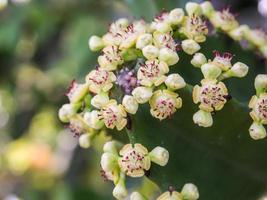 blommande blommor av taggkaktusväxt foto