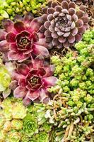 sedumplantor som används för applikationer med grönt tak foto