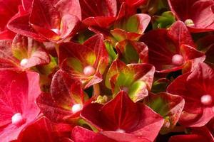 närbild av en blommande röd hortensiaväxt foto