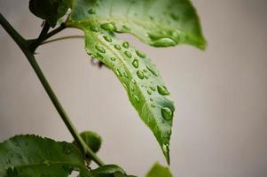blad av en passionsfruktväxt efter regn foto