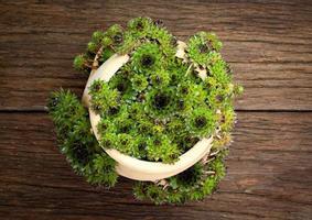 suckulent sempervivum calcareum i keramisk växtkruka med sida o foto