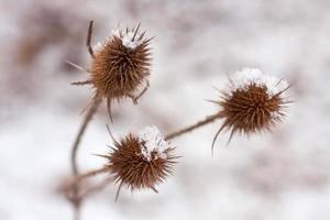 tistel täckt med snö