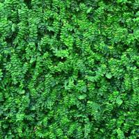 murgröna bakgrund foto