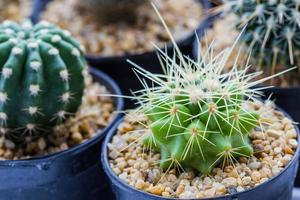 kaktus med taggar. foto