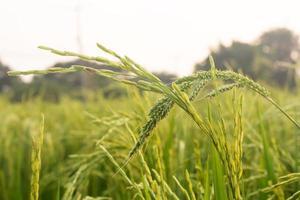 ris i gård, vintage färg. foto
