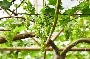 druvor på vinrankan i vingården foto