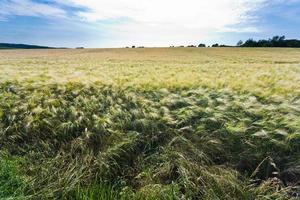 kornfält på sommardag foto