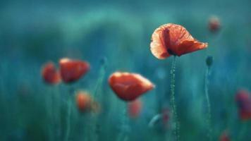 vilda röda vallmo blommar i kvällsljus