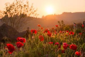 solnedgång över vallmoblommor