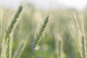 grönt korn växer i ett fält foto