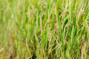 ris. ris med ris. Thailand foto