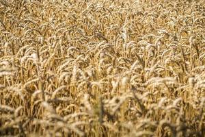 närbild av ett vetefält på sommaren foto