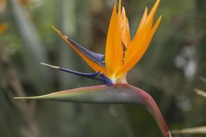 paradisfågel i blom foto