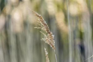 gräsöron foto