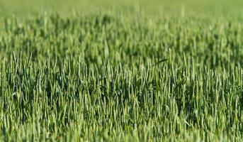 grön vete fält bakgrund foto