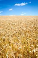 guldvete fält och blå himmel foto
