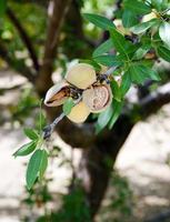 mandelträdgård jordbruk matproduktion fruktträdgård califo foto