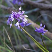 lila tofs västra australiska vildblommor foto