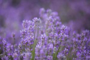 närbild skott av lavendel. foto