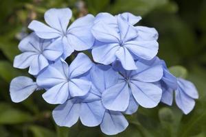 blixtblå plumbago blommor foto