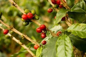 kaffeplanter att mogna foto