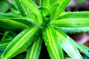 lycklig bambuväxt efter regnet